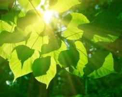 sun-leaf